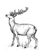 Alce e cervo da colorare 5