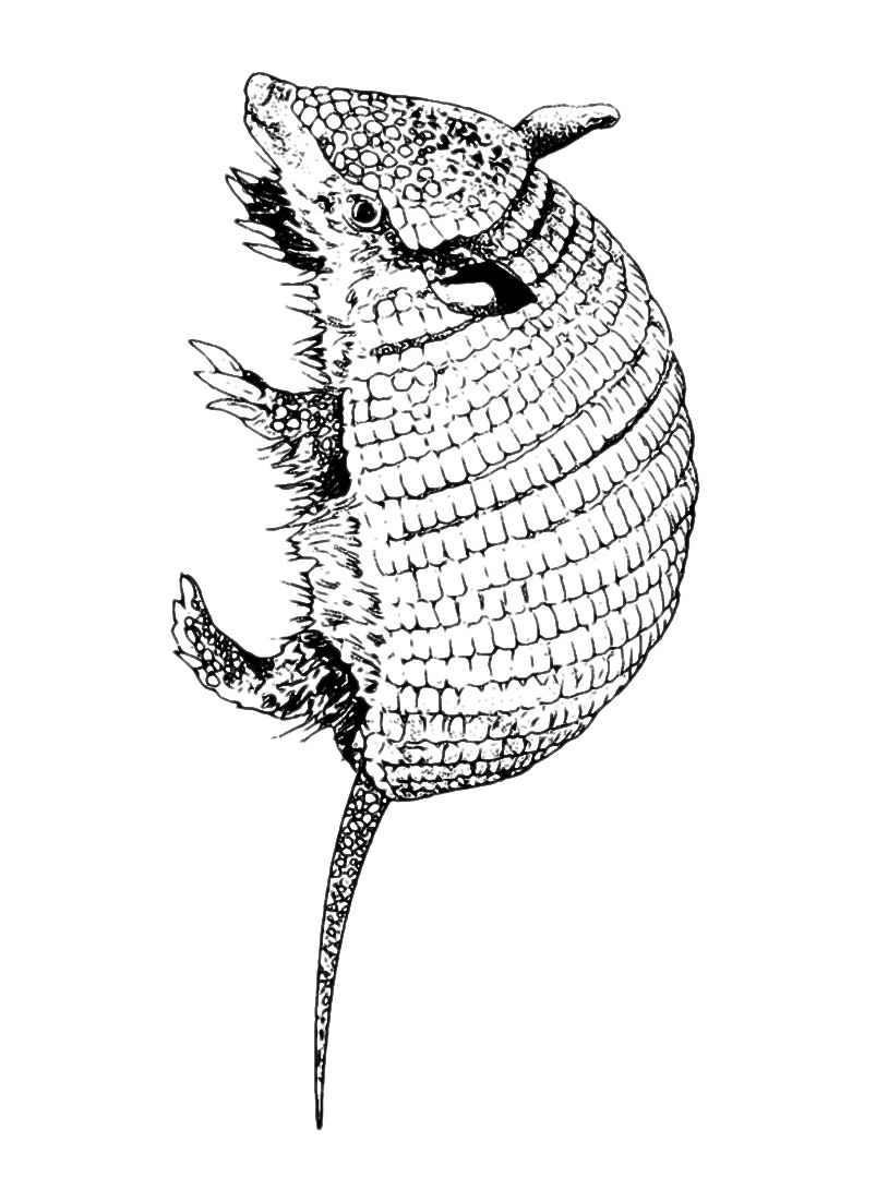 Armadillo da colorare 5