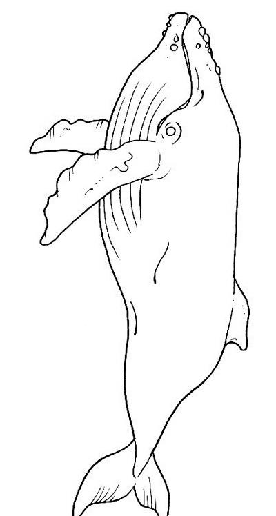 Balena da colorare 19