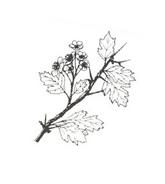 Arbusto da colorare 10