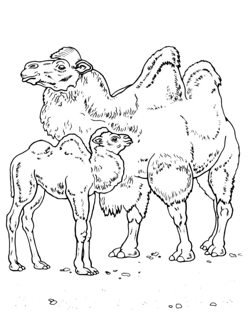 Camello da colorare 2