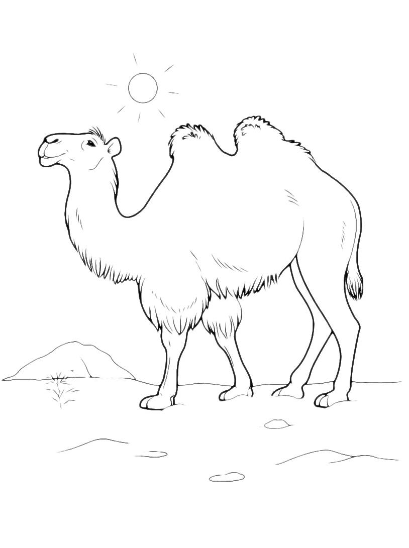 Camello da colorare 13