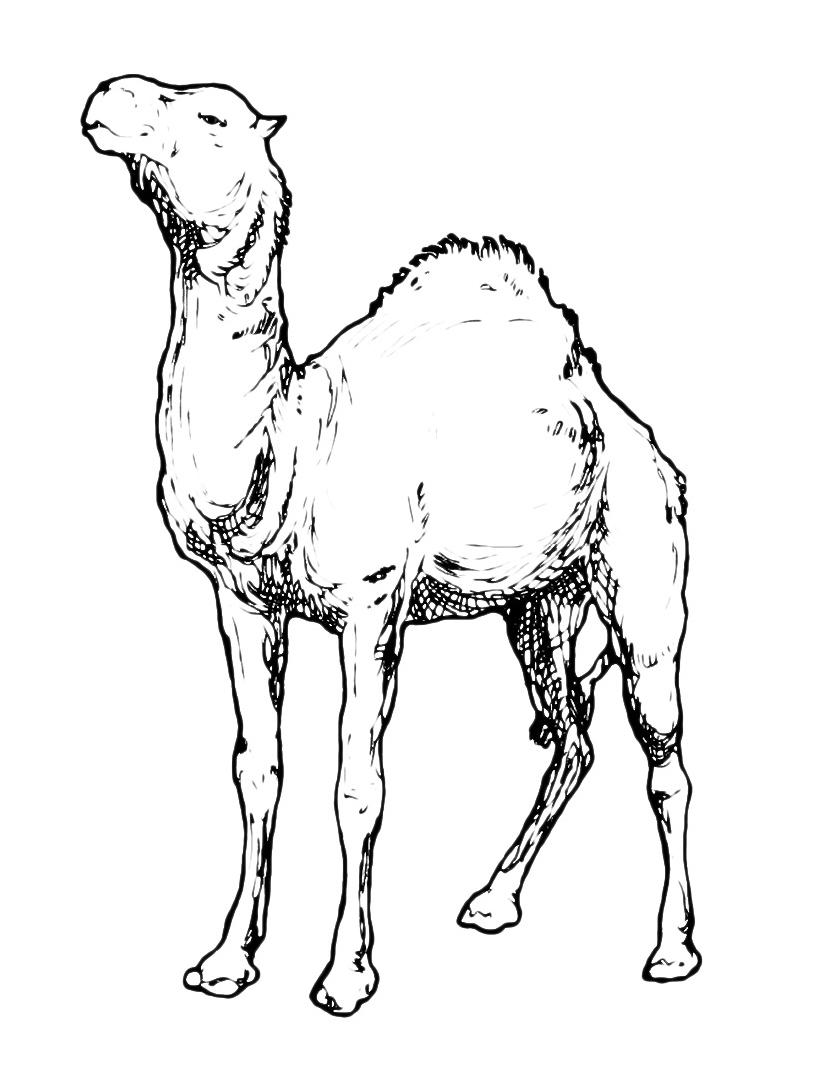 Camello da colorare 14