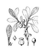 Arbusto da colorare 15