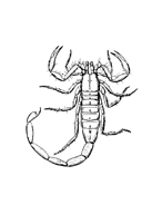 Scorpione da colorare 4