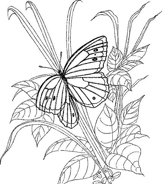 Farfalla da colorare 69