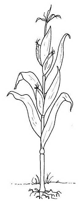Verdura da colorare 41