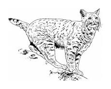 Tigre da colorare 38