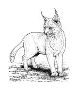 Tigre da colorare 39
