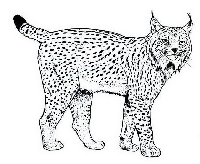 Tigre da colorare 42