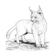 Tigre da colorare 48