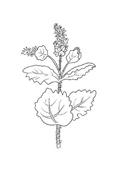 Verdura da colorare 48