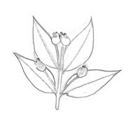 Arbusto da colorare 30