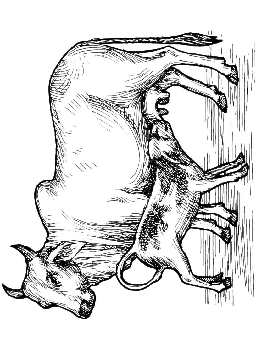 Mucca e bufalo da colorare 47
