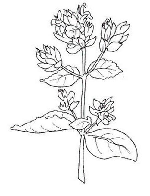 Verdura da colorare 49
