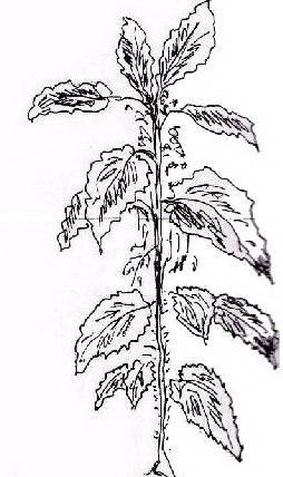 Verdura da colorare 50