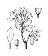 Arbusto da colorare 38