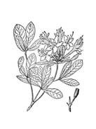Arbusto da colorare 42