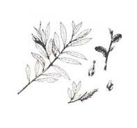 Arbusto da colorare 49