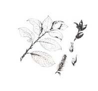Arbusto da colorare 50
