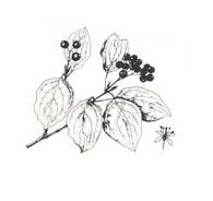 Arbusto da colorare 52