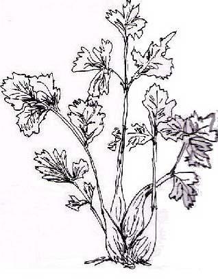 Verdura da colorare 71