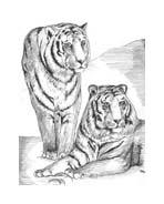 Tigre da colorare 64