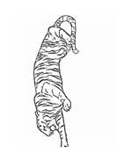 Tigre da colorare 79